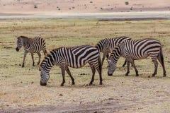 Zebras in national park. Zebras in Serengeti national park. Tanzania stock photo