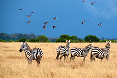 Zebras in national park of Tanzania. Stock Images