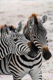 2 Zebras an Nationalpark Afrika Kenia Amboseli während der Safari lizenzfreies stockfoto