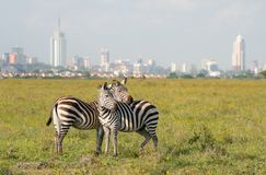 Zebras in Nationalpark Nairobis lizenzfreie stockfotografie