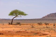 Zebras in Nationalpark Tsavo in Kenia Stockfoto