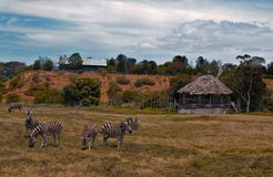 Zebras in nature Royalty Free Stock Photography