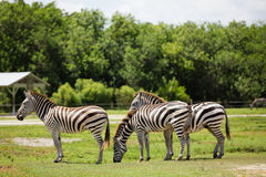 Zebras in nature Stock Images