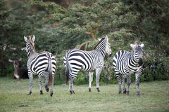 Zebras near Naivasha lake Royalty Free Stock Photo