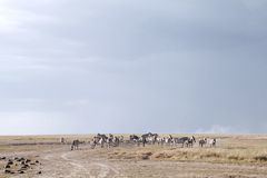 Zebras near a water hole in Ol Pejeta Conservancy, Kenya. The Ol Pejeta Conservancy is wildlife conservancy in the Laikipia district Royalty Free Stock Photo