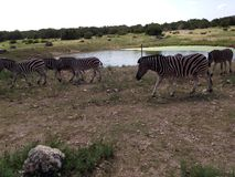 Zebras near water stock photography