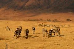 Zebras in Ngorongoro Stockbild
