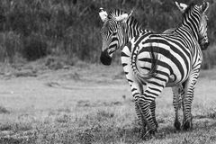 Zebras in Ngorongoro conservation area, Tanzania.  Royalty Free Stock Photos