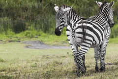 Zebras in Ngorongoro conservation area, Tanzania.  Stock Images
