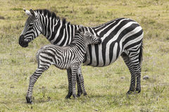 Zebras in Ngorongoro conservation area, Tanzania.  Stock Photography