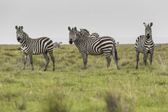 Zebras in Ngorongoro conservation area, Tanzania.  Royalty Free Stock Photography