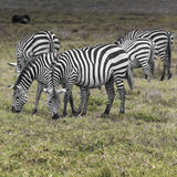 Zebras in Ngorongoro conservation area, Tanzania.  Stock Image