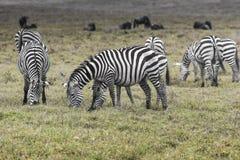 Zebras in Ngorongoro conservation area, Tanzania Royalty Free Stock Photography