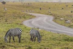 Zebras in Ngorongoro conservation area, Tanzania Stock Images