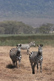 Zebras in Ngorongoro Crater Stock Photography