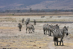 Zebras in Ngorongoro Crater Stock Photo