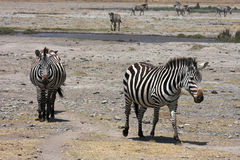 Zebras in Ngorongoro Crater Stock Image