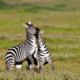 Zebras in the Ngorongoro Crater Royalty Free Stock Photography