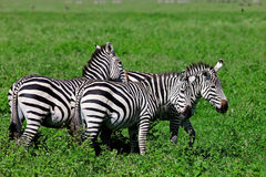 Zebras in the Ngorongoro Crater Stock Photo