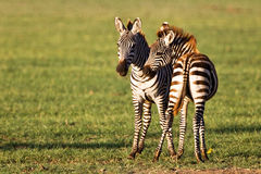 Zebras in the Ngorongoro Crater Stock Image