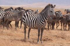 Zebras of Ngorongoro Crater   Stock Image