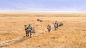 Zebras in Ngorongoro Crater in Africa Stock Image