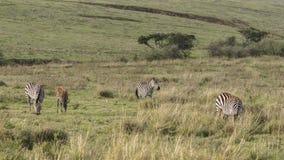 Zebras, Ngorongoro Crater, Tanzania Stock Photo