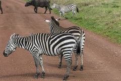 Zebras, Ngorongoro Crater, Tanzania Stock Photos
