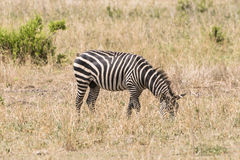 Zebras, Ngorongoro Crater, Tanzania stock photography
