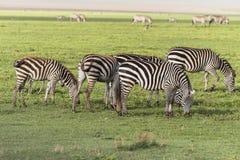 Zebras, Ngorongoro Crater, Tanzania Royalty Free Stock Images