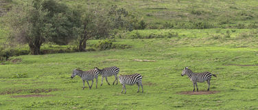 Zebras, Ngorongoro Crater, Tanzania Royalty Free Stock Photo