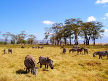 Zebras at Ngorongoro crater, Tanzania. Stock Images