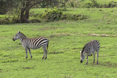 Zebras, Ngorongoro Crater, Tanzania Stock Photo