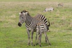 Zebras, Ngorongoro Crater, Tanzania. Twof Grant`s Zebras, family mother and child in Ngorongoro Crater, Ngorongoro Conservation Area, Tanzania royalty free stock photo