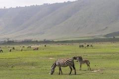 Zebras, Ngorongoro Crater, Tanzania. Twof Grant`s Zebras, family mother and child in Ngorongoro Crater, Ngorongoro Conservation Area, Tanzania stock photography