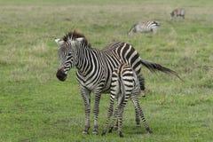 Zebras, Ngorongoro Crater, Tanzania Royalty Free Stock Photos
