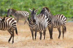 Zebras in Ngorongoro Royalty Free Stock Image