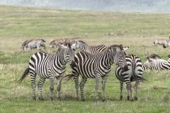 Zebras, Ngorongoro-Krater, Tansania stockbild