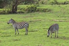 Zebras, Ngorongoro-Krater, Tanzania stock foto