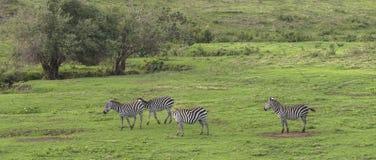 Zebras, Ngorongoro-Krater, Tanzania royalty-vrije stock foto