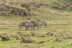 Zebras, Ngorongoro-Krater, Tanzania royalty-vrije stock afbeelding