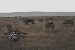 Zebras in ngorongoro Stock Image