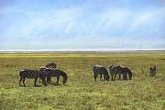 Zebras in ngorongoro Royalty Free Stock Photo