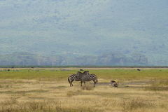 Zebras in Ngorongoro, Tanzania Stock Images