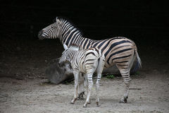 Zebras. Nice view of a two zebras Royalty Free Stock Photos