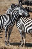 Zebras no amor fotos de stock
