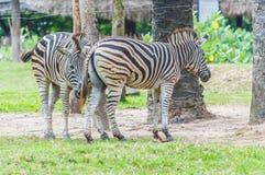 Zebras no amor. Fotos de Stock Royalty Free
