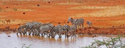 Zebras no furo molhando Imagem de Stock Royalty Free