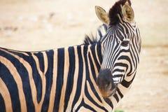 Zebras no jardim zoológico Imagens de Stock Royalty Free