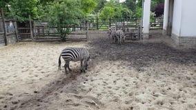 Zebras no jardim zoológico de Budapest vídeos de arquivo